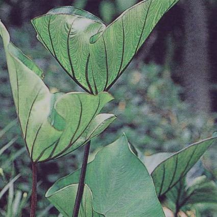 Colocasia Coffee Cups