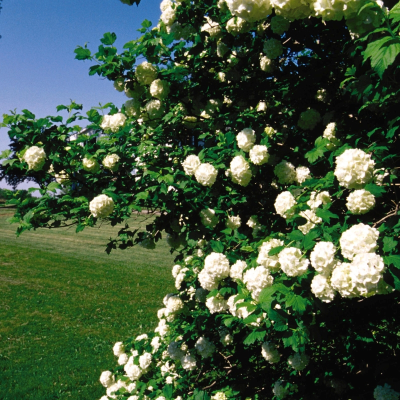 Common Snowball Viburnum