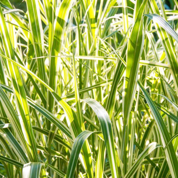 Cosmopolitan Maiden Grass Image