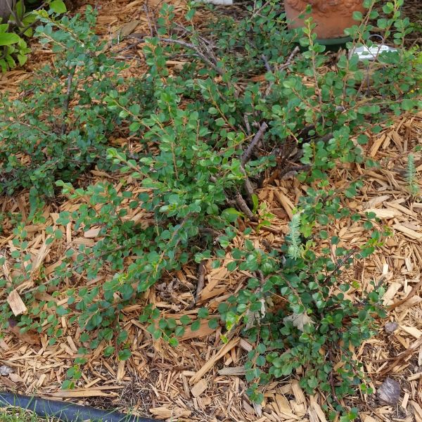 Cranberry Cotoneaster