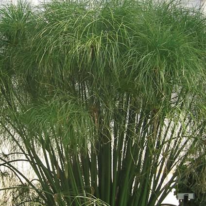 Cyperus King Tut