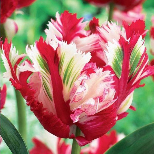 Estella Rijnveld Parrot Tulip