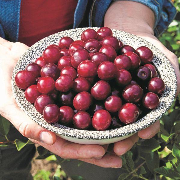 Carmine Jewel™ Dwarf Cherry