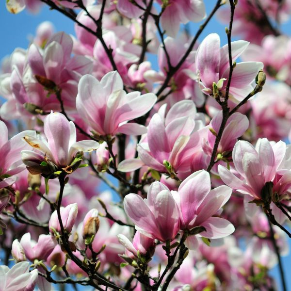 Alexandrina Saucer Magnolia Tree Buy At Nature Hills Nursery