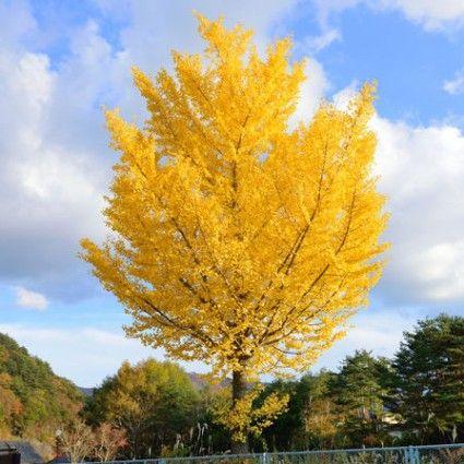 Autumn Gold Ginkgo Tree Nature Hills Nursery
