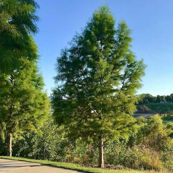 Bald Cypress Tree Buy At Nature Hills Nursery