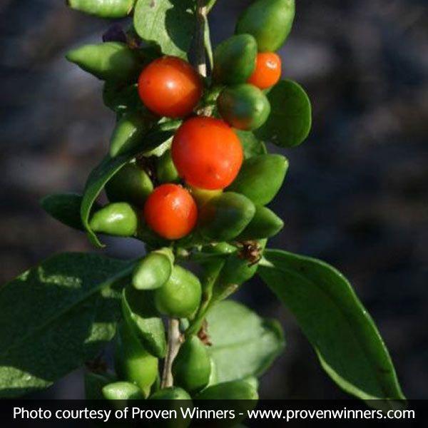 Big Lifeberry Goji Berry Buy At Nature Hills Nursery
