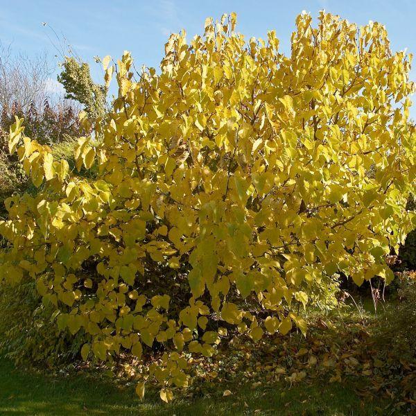 Fruiting Dwarf Black Mulberry Tree