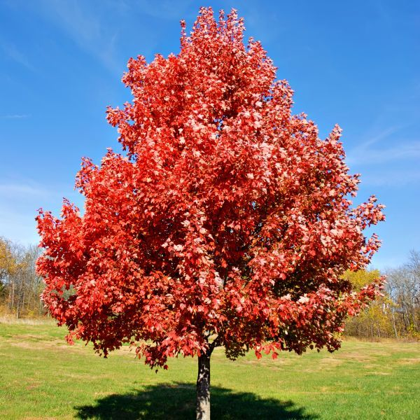 Brandywine Maple Tree Buy At Nature Hills Nursery