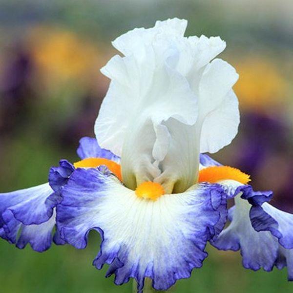 2 Iris Bulb Stunning  Resistant Perennial Bearded Rhizome Resistant Spectacular