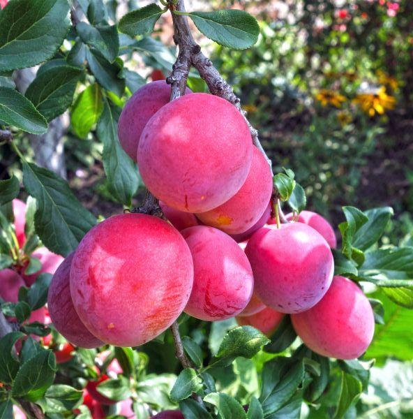 Bruce Plum Tree Buy At Nature Hills Nursery