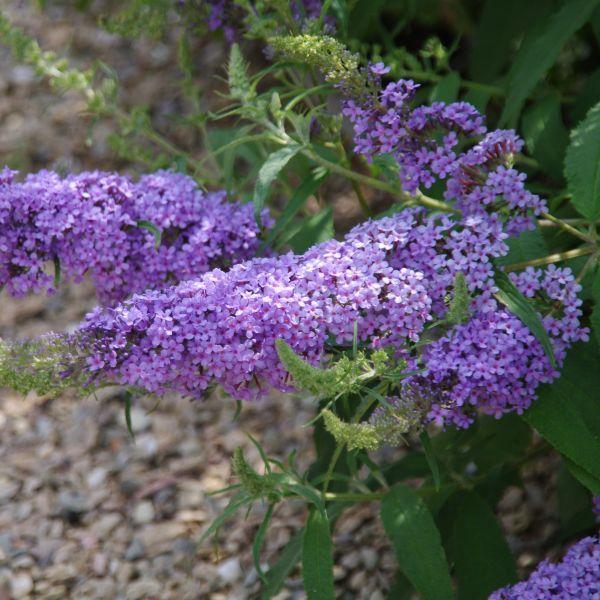 Buzz Sky Blue Butterfly Bush Buy At Nature Hills Nursery
