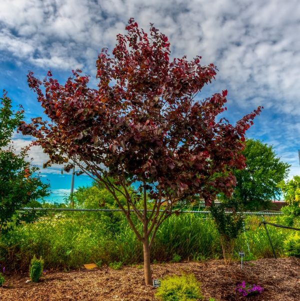Merlot Redbud Trees Buy At Nature Hills Nursery