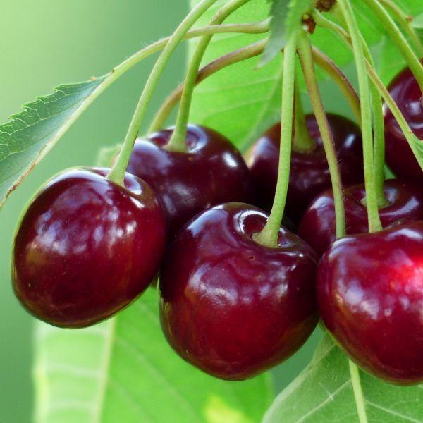 5 black Cherry 1 foot tree Bareroot