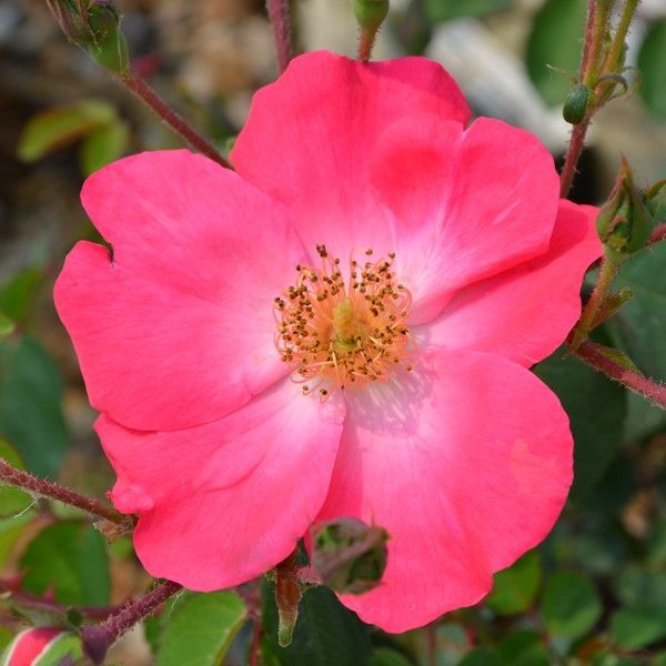 Chuckles Roses Naturehills Com