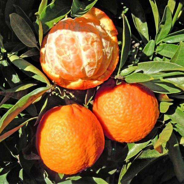 Clementine Mandarin Orange Tree