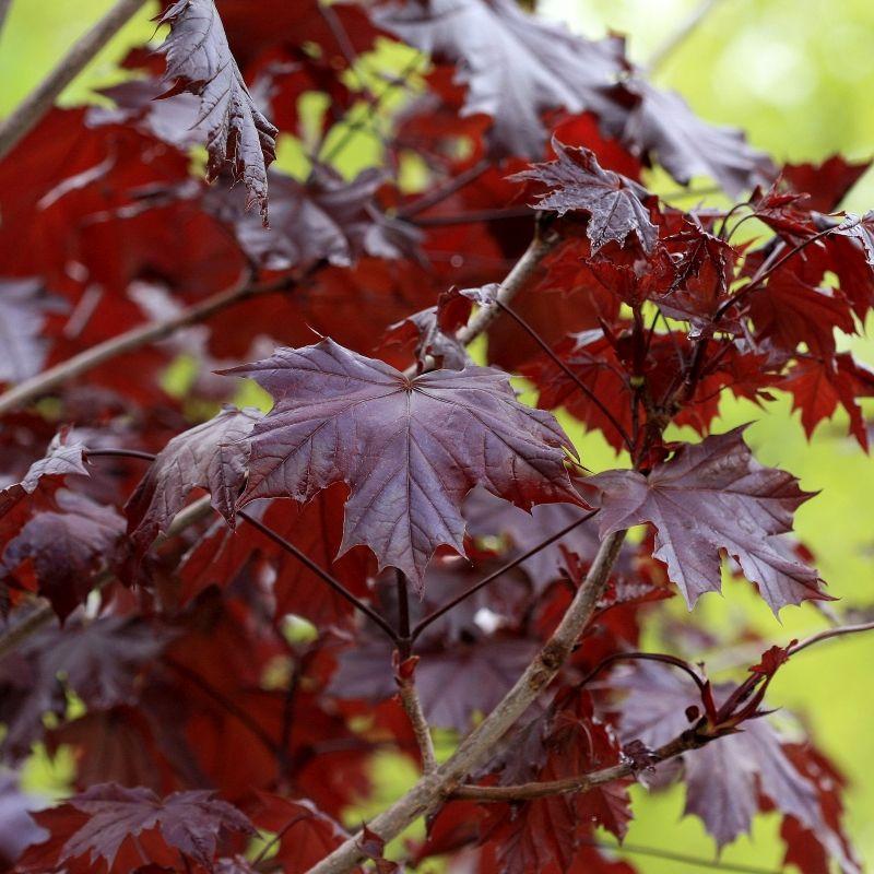 Crimson King Maple Buy At Nature Hills Nursery