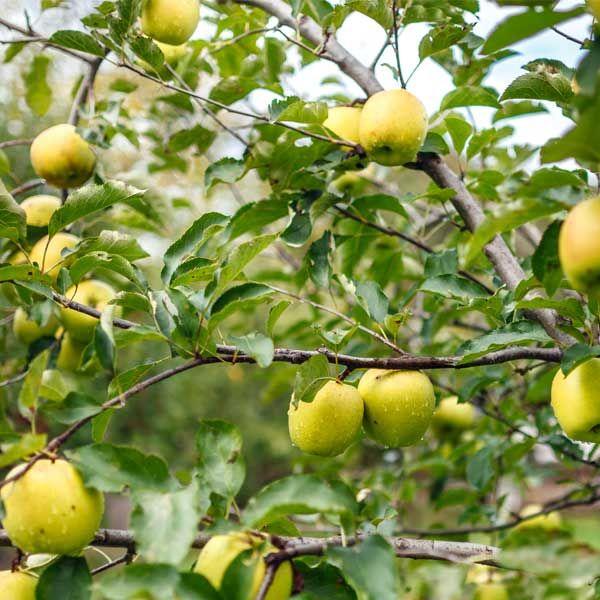 Sweettart Flavor with a Crisp Aromatic Texture. Dwarf Golden Delicious Apple Tree