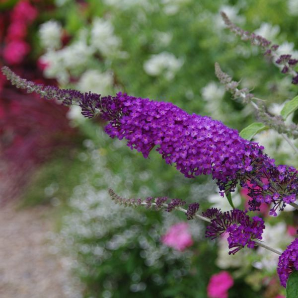 Buzz Purple Butterfly Bush Buy At Nature Hills Nursery
