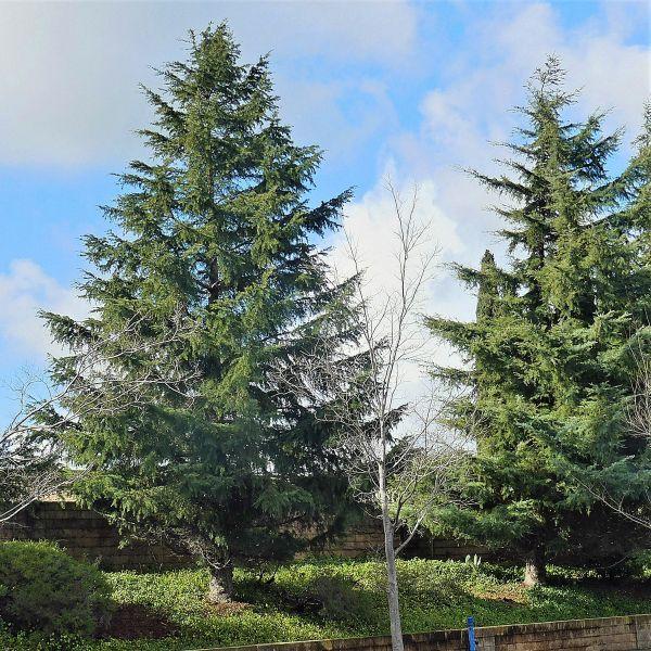 Blue Deodar Cedar