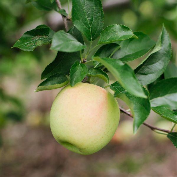Dorsett Golden Apple Tree Buy At Nature Hills Nursery