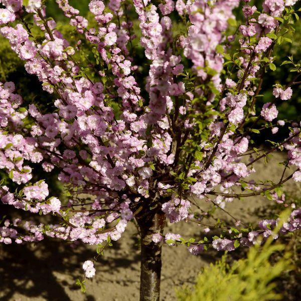 Double Flowering Plum Tree Buy At Nature Hills Nursery