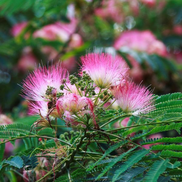 Mimosa Tree Buy At Nature Hills Nursery