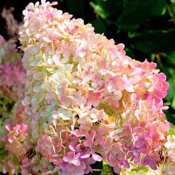 Vanilla Strawberry Hydrangea Tree Form Buy Online At