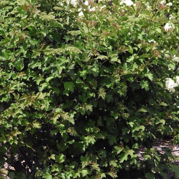 Compact European Cranberrybush Viburnum Buy At Nature