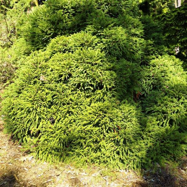 Dwarf Japanese Cedar Buy At Nature Hills Nursery
