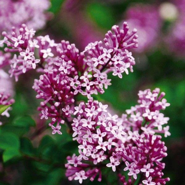 Dwarf Korean Lilac Tree Buy At Nature Hills Nursery