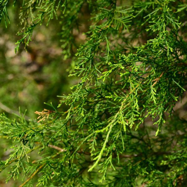 EASTERN RED CEDAR Juniperus Virginiana 15 SEEDS FREE S/&H