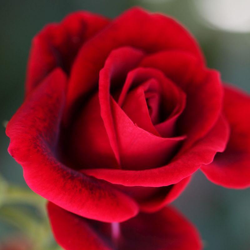 Easy Elegance U00ae Paint The Town Rose