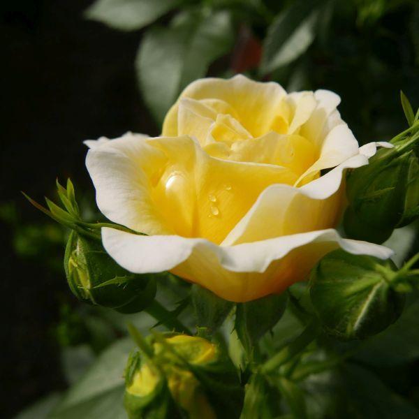Easy Elegance® Yellow Brick Road Rose