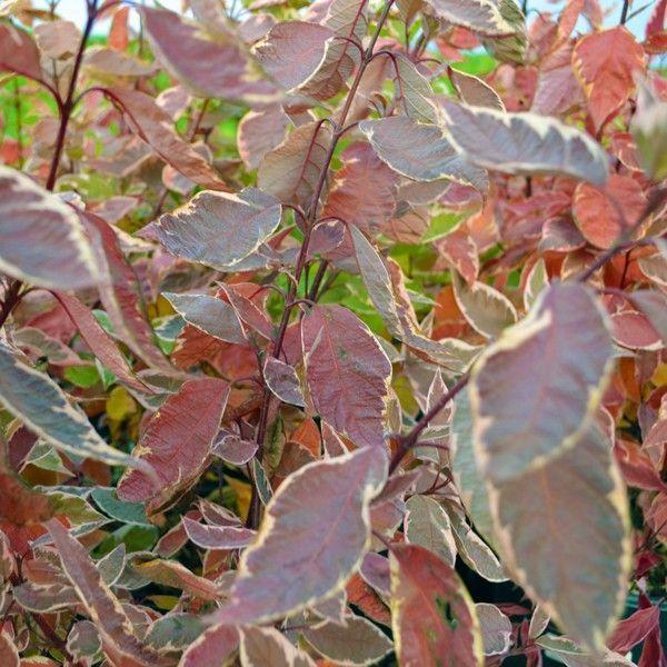 European Variegated Dogwood Buy At Nature Hills Nursery