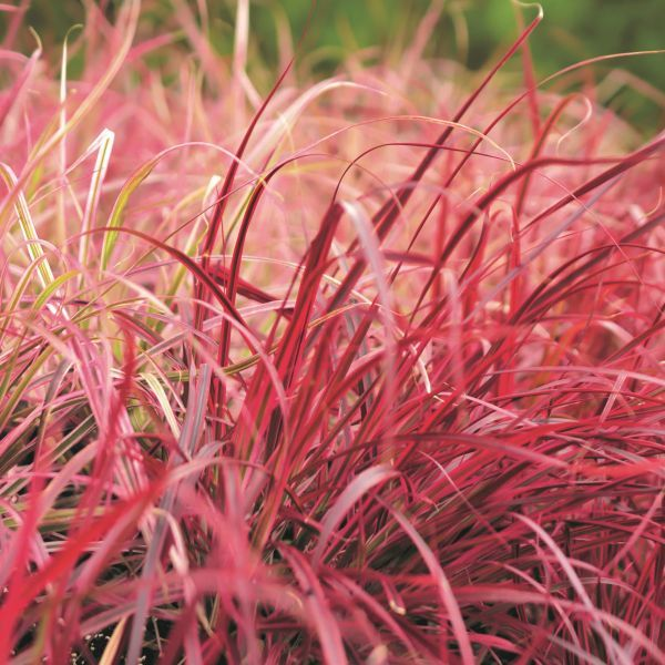 Fireworks Grass Buy At Nature Hills Nursery