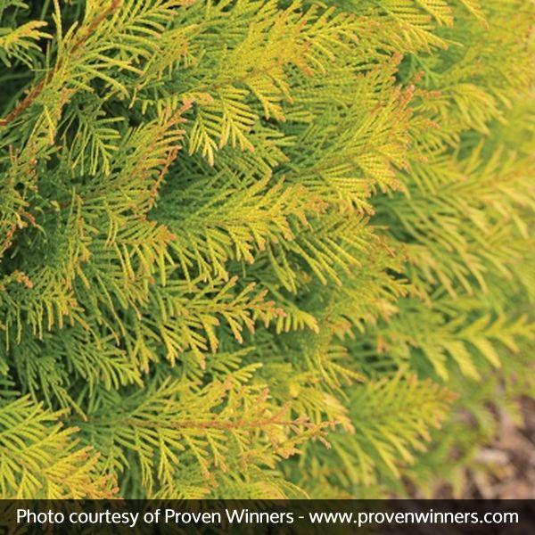 Fluffy 174 Western Arborvitae Trees Buy At Nature Hills Nursery