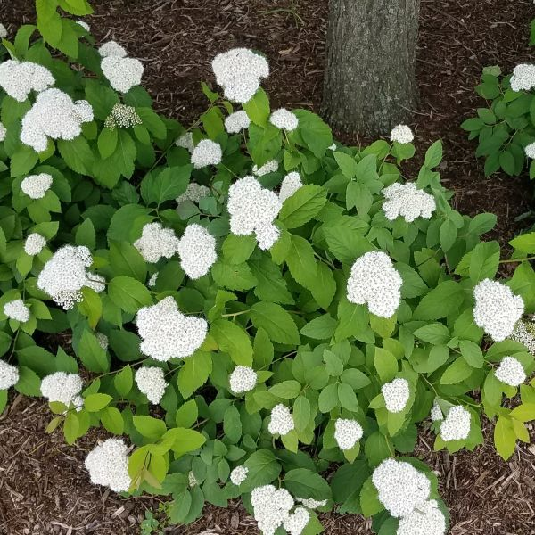 Fritsch Spirea Nature Hills Nursery