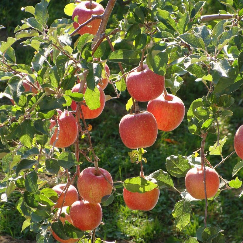 Live Fuji Apple Trees   Buy Online at Nature Hills Nursery