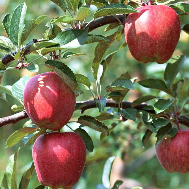 Gala Apple Tree Buy At Nature Hills Nursery