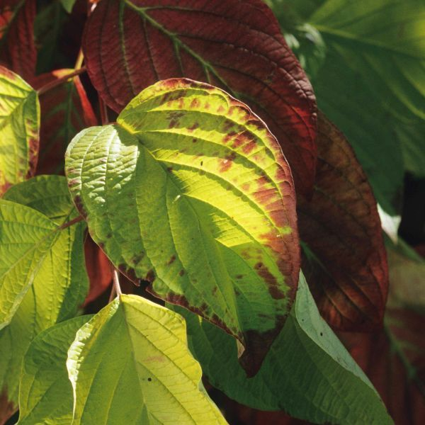Garden Glow Dogwood Buy Online At Nature Hills Nursery