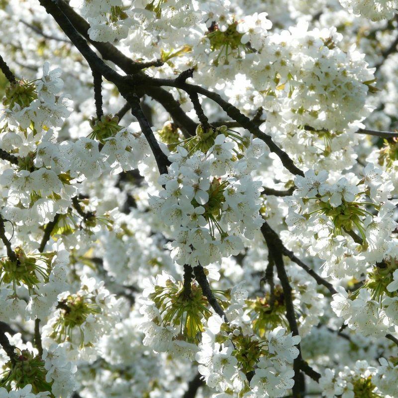 Rainier Cherry Tree Buy At Nature Hills Nursery