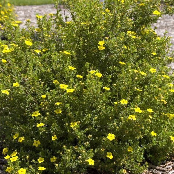 Gold Drop Potentilla Nature Hills Nursery