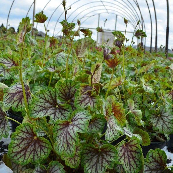 Green Spice Coral Bells Naturehills Com