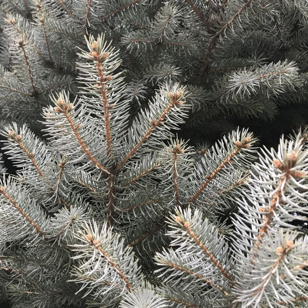 Baker S Colorado Blue Spruce Buy At Nature Hills Nursery