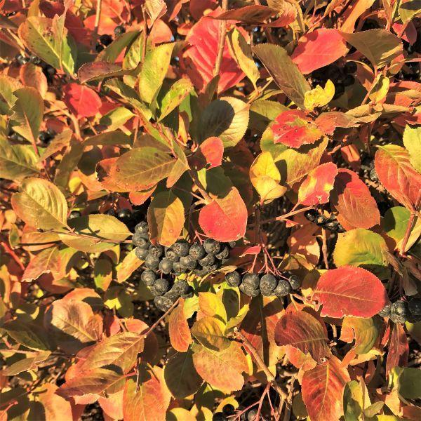 Viking Black Chokeberry Buy At Nature Hills Nursery
