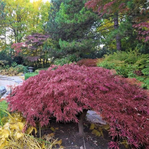 Inaba Shidare Japanese Maple Buy At Nature Hills Nursery
