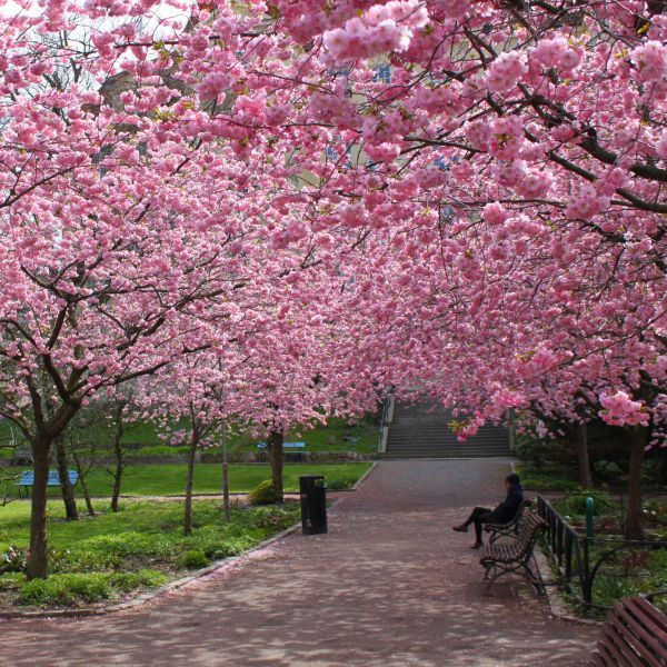 Landscaping Pink Blossoms Deciduous Tree Full Sun Kwanzan Cherry Tree Fall Colors Double  Pink Flowers 1 Gallon Potted Beautiful