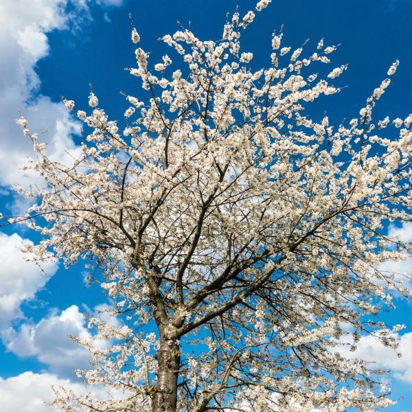 Lapins Cherry Tree Buy At Nature Hills Nursery
