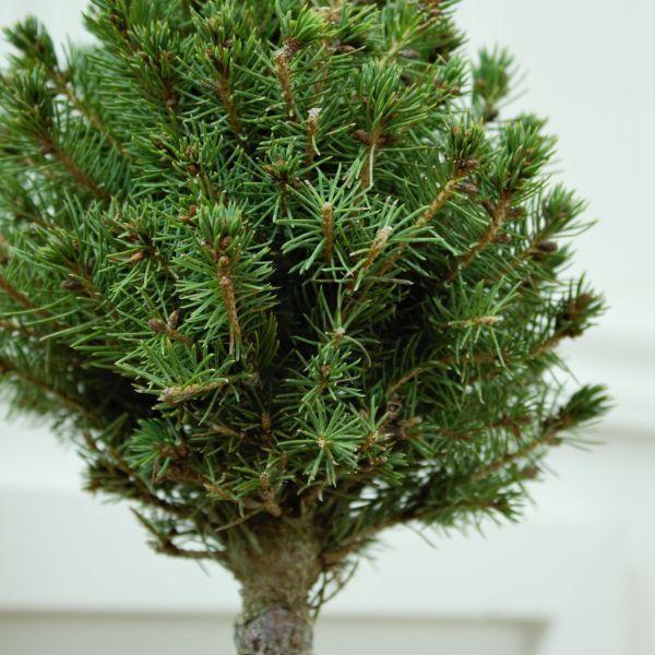 Dwarf Alberta Spruce Pom Pom Topiary